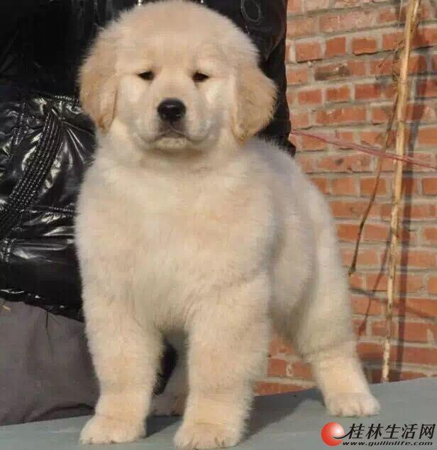 纯种金毛 北京金毛价格 赛级金毛 超大骨量金毛幼犬 出售可签协议