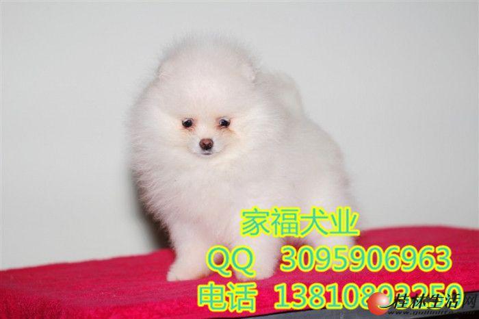 纯种博美 白色博美 哈多利球体博美犬 北京家福犬业直销博美