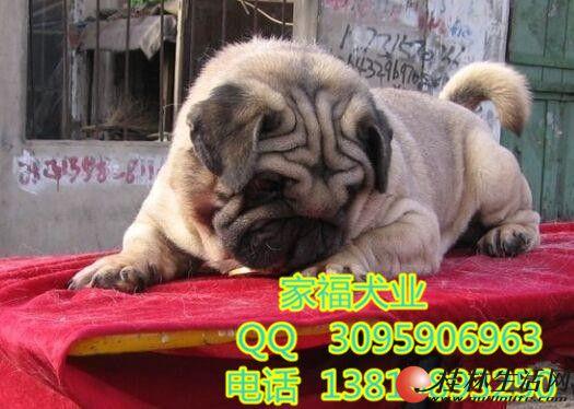 北京巴哥幼犬多少钱一只 鹰版巴哥 虎头巴哥 北京家福犬业直销