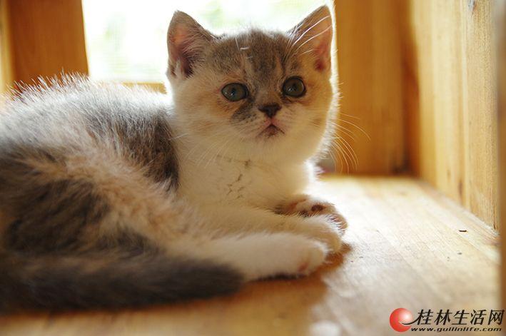 纯种英短、折耳大量出售,桂林市区交易,可上门看猫,价格美丽