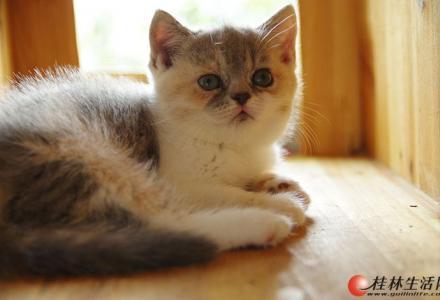 纯种英短、折耳大量出售,银河国际网上娱乐网址区交易,可上门看猫,价格美丽