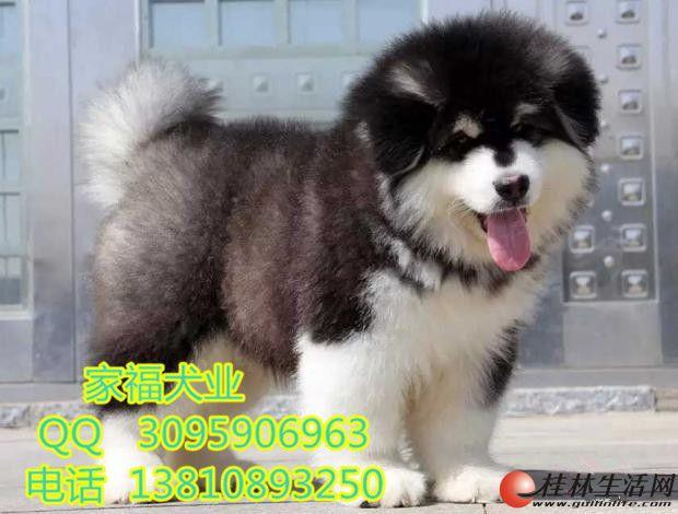 纯种阿拉斯加 巨型阿拉斯加 北京阿拉斯加价格 北京家福犬业直销