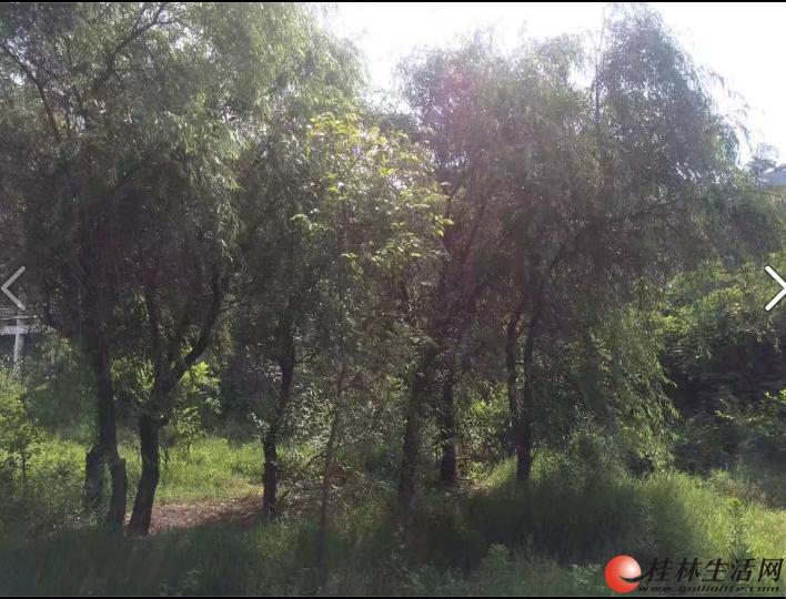 大柳树、大海桐球,四季桂球出售