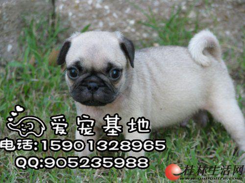 哪里有卖纯种八哥犬的 巴哥犬多少钱一只 巴哥犬舍