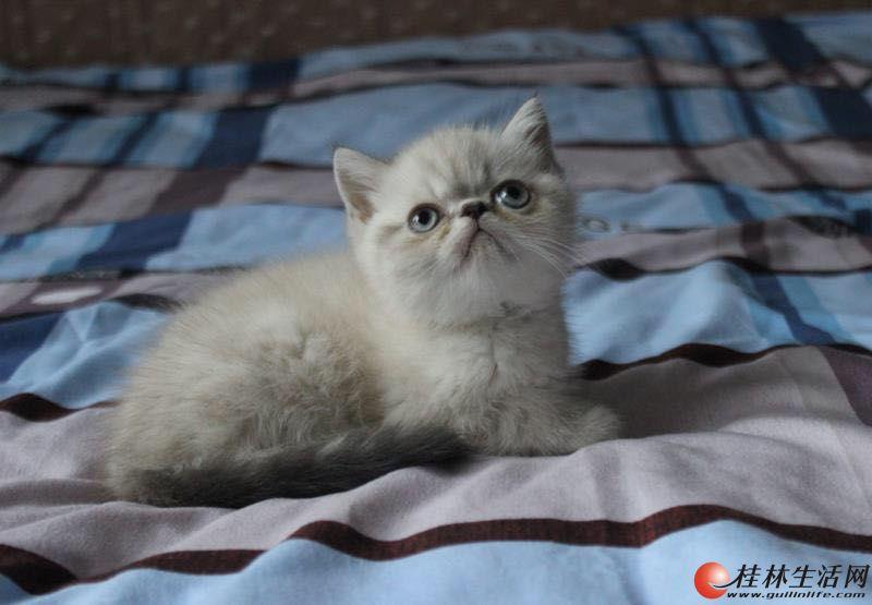 桂林本地家养繁殖高品质品种猫 加菲猫 布偶猫