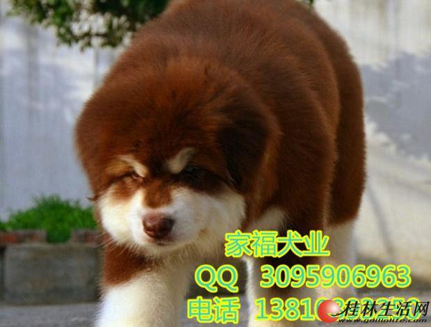 纯种阿拉斯加 巨型阿拉斯加 签协议 保健康三年 北京家福犬业