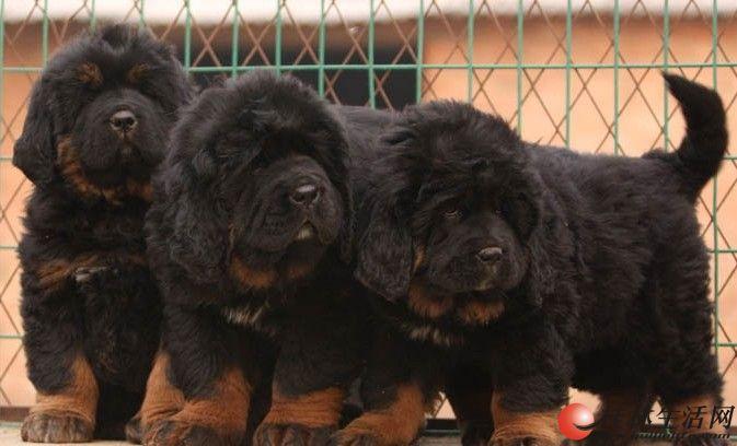 桂林买狗网、桂林什么地方有纯种藏獒犬出售、桂林卖藏獒犬的地方在哪里、本地狗场在哪