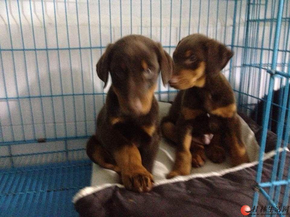 纯种杜宾犬什么价格、哪里能买到纯种杜宾犬、狗场杜宾犬出售转让
