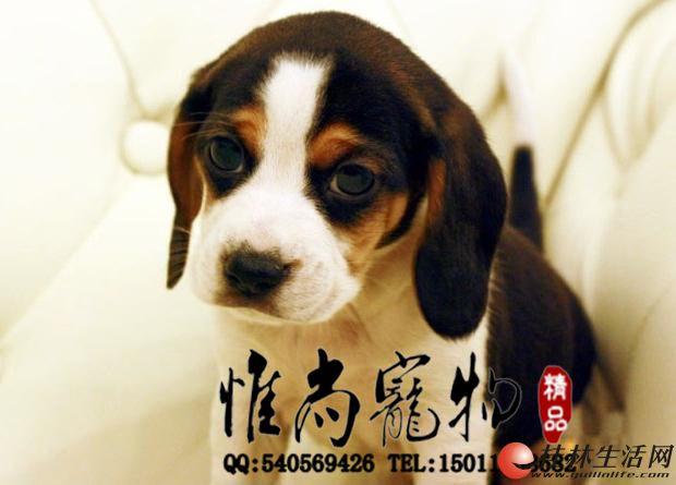好养帅气的比格狗狗出售了迷人的迷你型的比格
