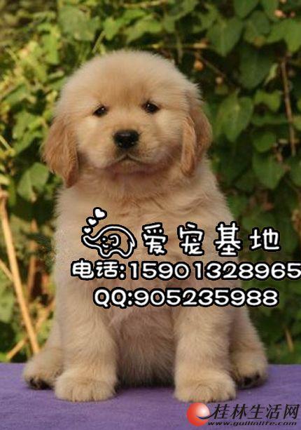 纯种金毛犬多少钱一只