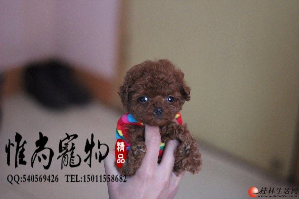 憨态可掬 娇小可爱的纯种茶杯体 玩具体泰迪熊宝宝