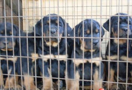出售纯种罗威纳犬 自家养殖的 当面测试交易 同城免费送狗