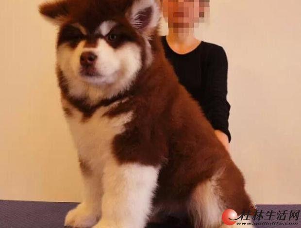 纯种阿拉斯加 巨型阿拉斯加 北京阿拉斯加幼犬多少钱
