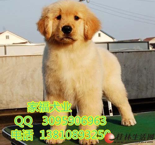 纯种金毛 美系大头金毛 赛级金毛 北京家福犬业直销