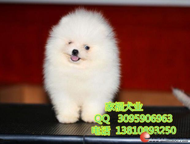 北京博美幼犬多少钱 纯种博美 哈多利博美 签质保协议
