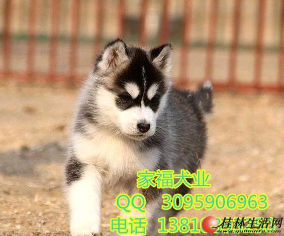 三把火双蓝眼哈士奇 北京哪卖纯种哈士奇幼犬 保健康