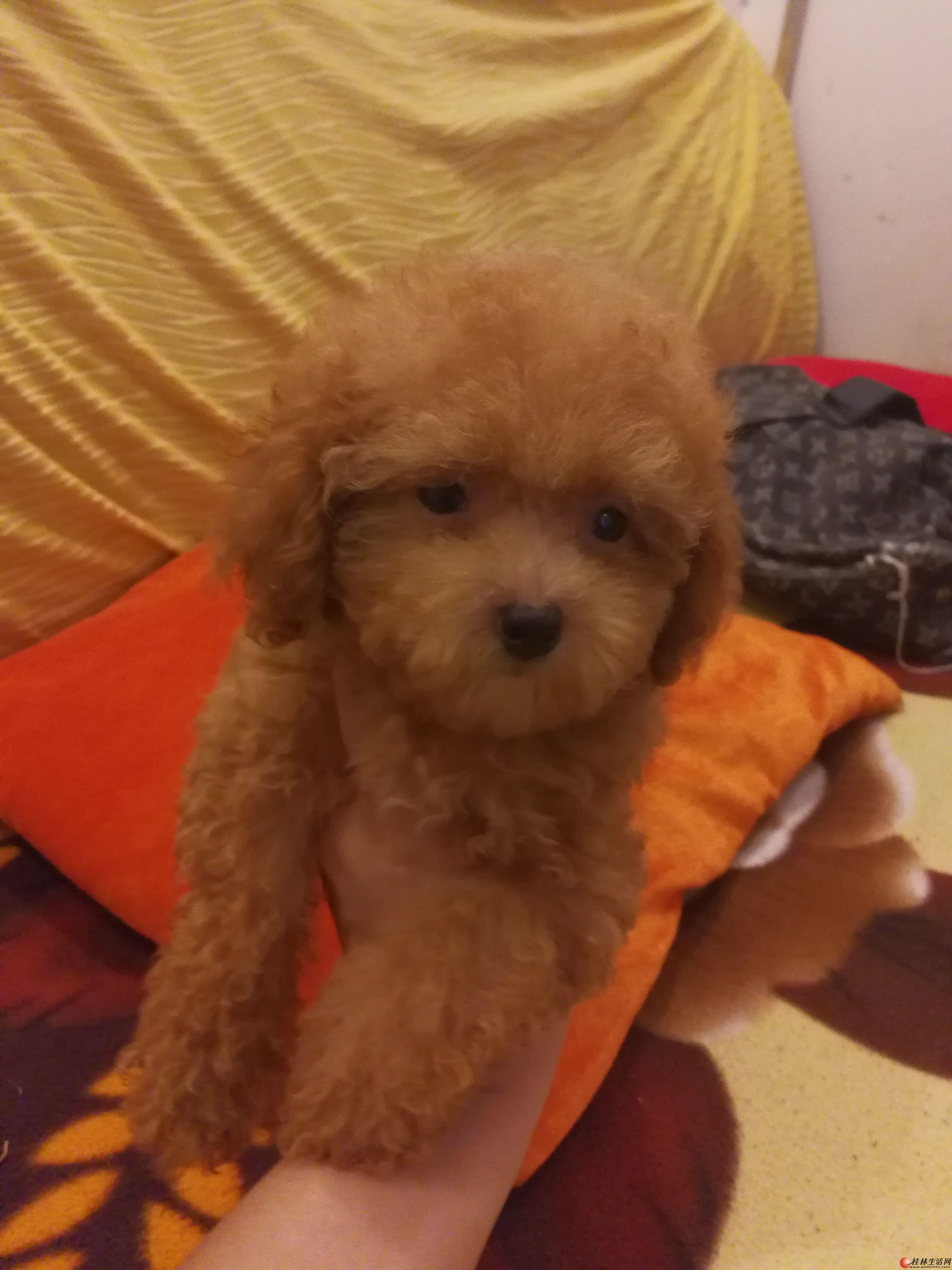 出售家养棕色微小泰迪犬一公一母,一母