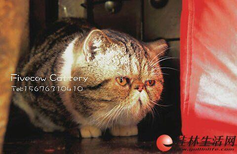 加菲猫借配 棕虎斑加白 有配种经验 出仔颜色正,骨架大