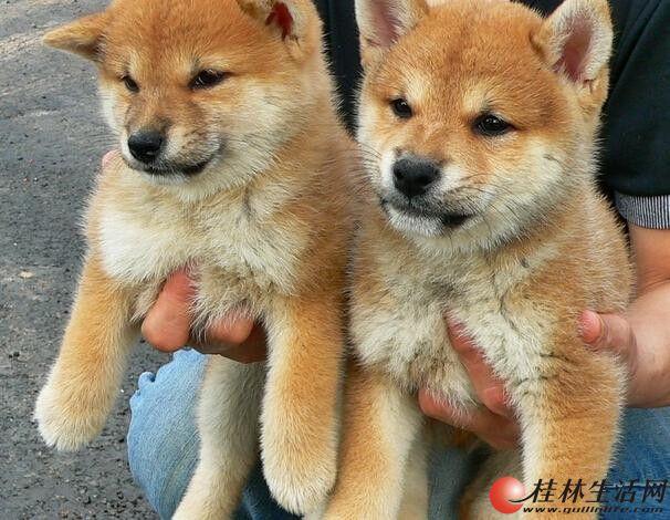 纯种日系柴犬多少钱 北京柴犬价格 北京哪卖柴犬幼犬