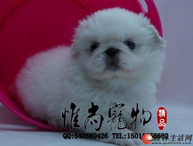纯种京巴幼犬是奥鼻子的小狗狗很活泼很老实的