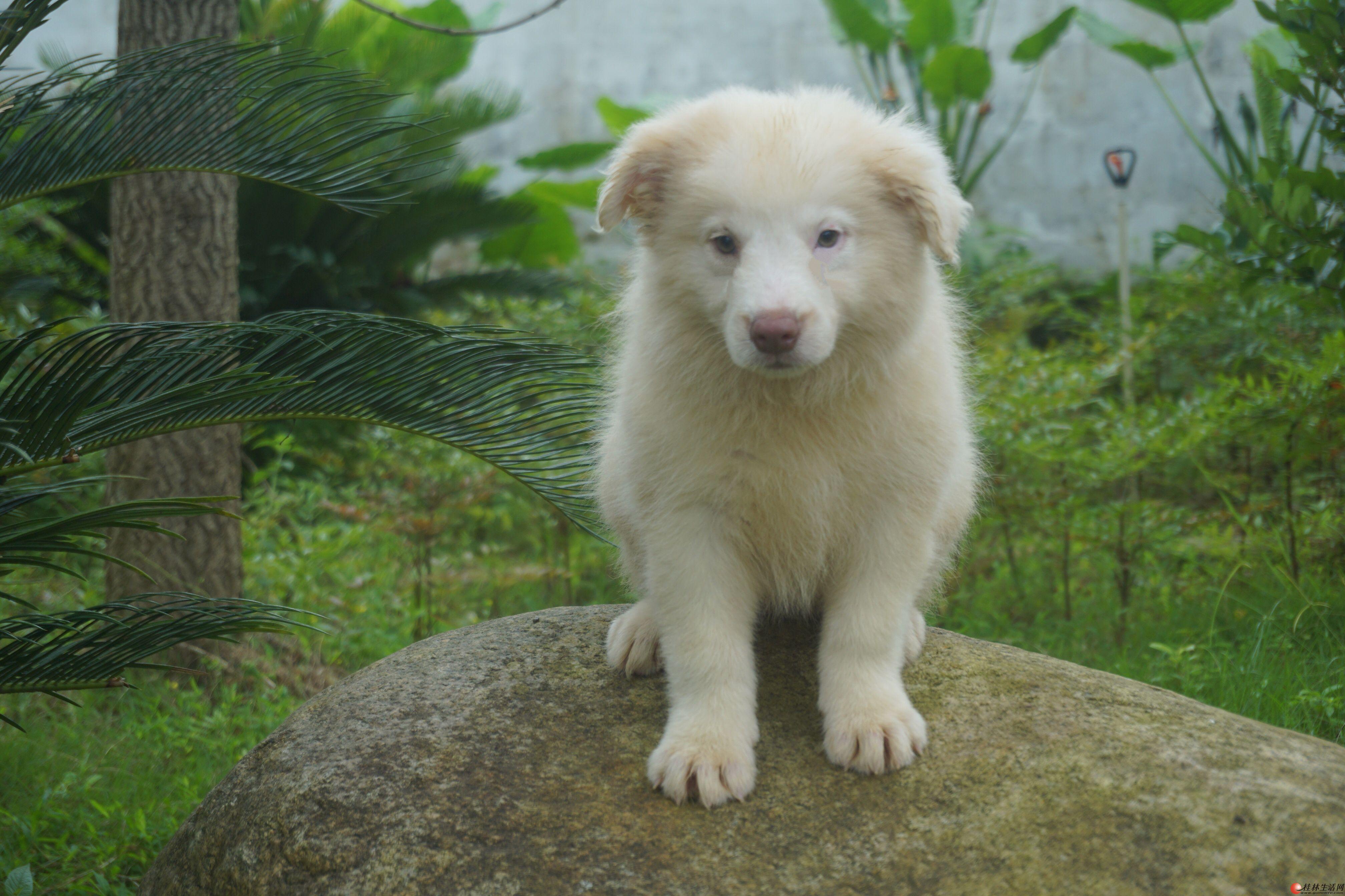 桂林双血统边境牧羊犬