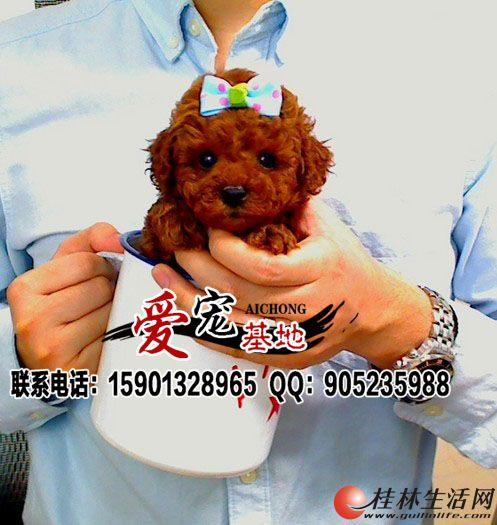 桂林哪有卖泰迪熊犬的