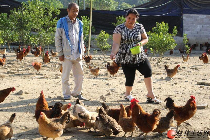 双残夫妻原始喂养土鸡