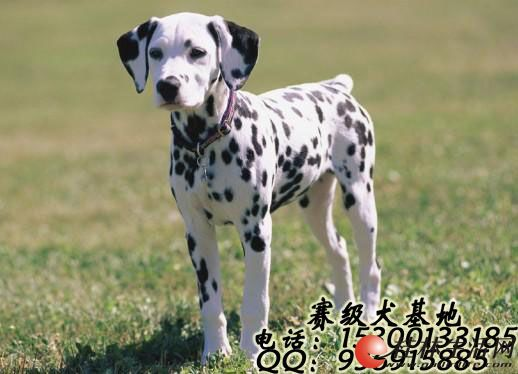 大麦町斑点犬可以长多大