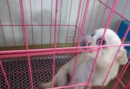 出售一只自养张不大吉娃娃,1岁,母疫苗和狂犬预防针已经打完,350元