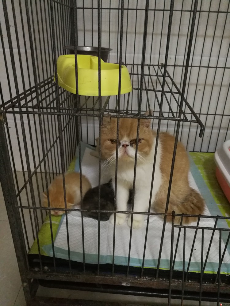 出售纯种加菲猫包子脸肉粉粉水滴大眼