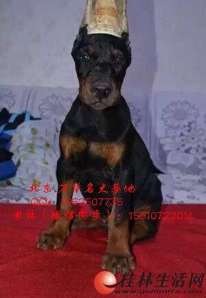 北京万华犬舍出售杜宾幼犬 杜宾价格