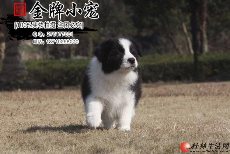 天津有卖边牧的吗 边牧可以在楼房养吗