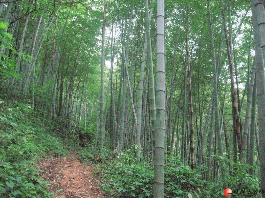 桂林大量老毛竹低价出售