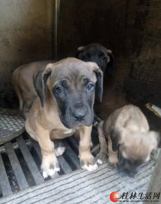 广西桂林哪里有大丹犬什么价桂林犬舍大丹犬出售