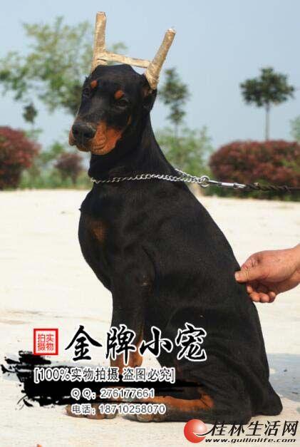 极品杜宾在这里、优惠纯种和健康、CKU认证犬业