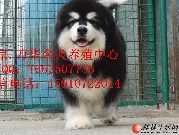 阿拉斯加幼犬出售 阿拉斯加成年体重多少?
