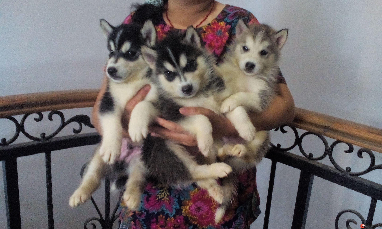 长期零售各哈士奇、雪橇、西伯利亚幼犬