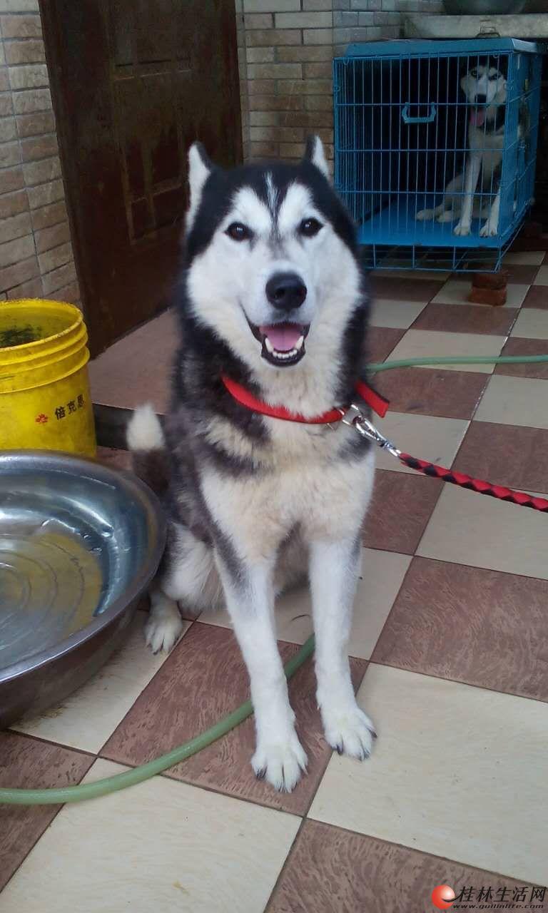 桂林哈士奇、西伯利亚、雪橇犬借配(桂林十五年哈士奇专业配种,源于2002)