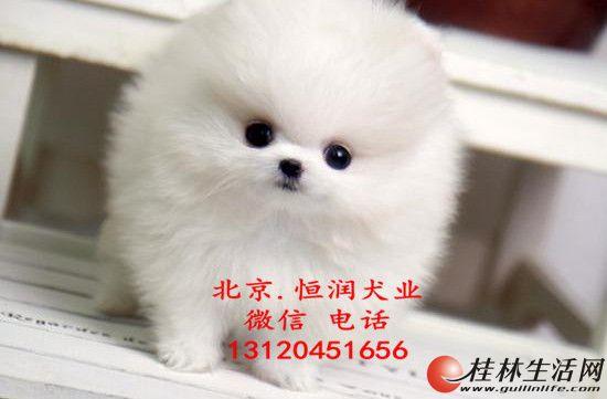 北京出售博美幼犬 赛级博美好养吗