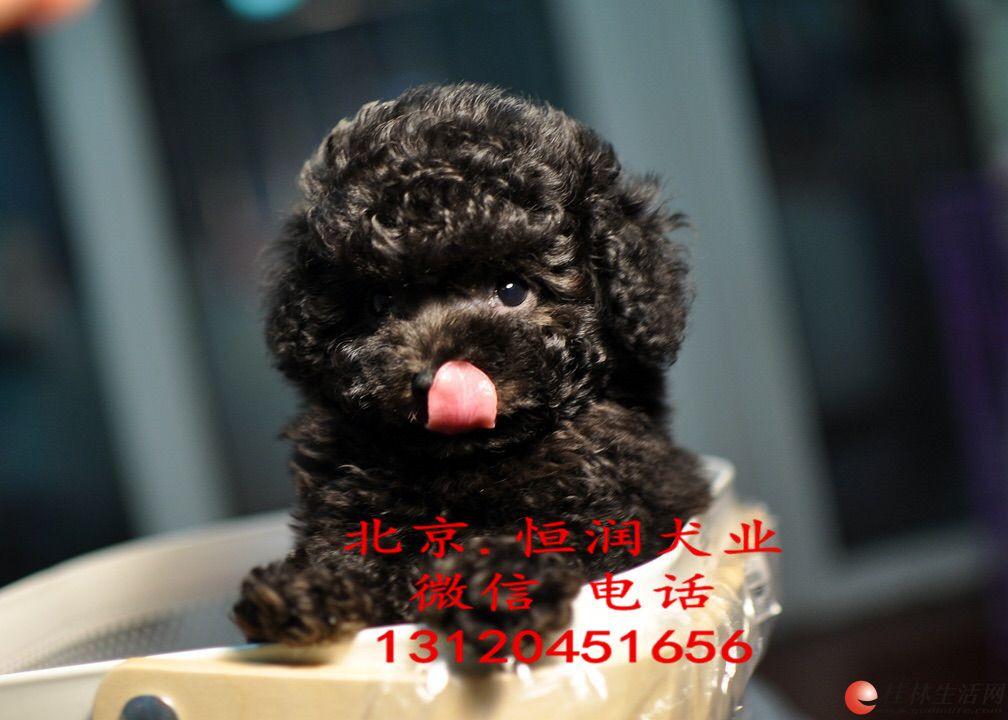 北京出售泰迪幼犬 泰迪好养吗