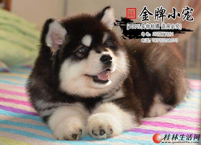大型犬场出售双血统熊版巨型阿拉斯加幼犬签协议包养活