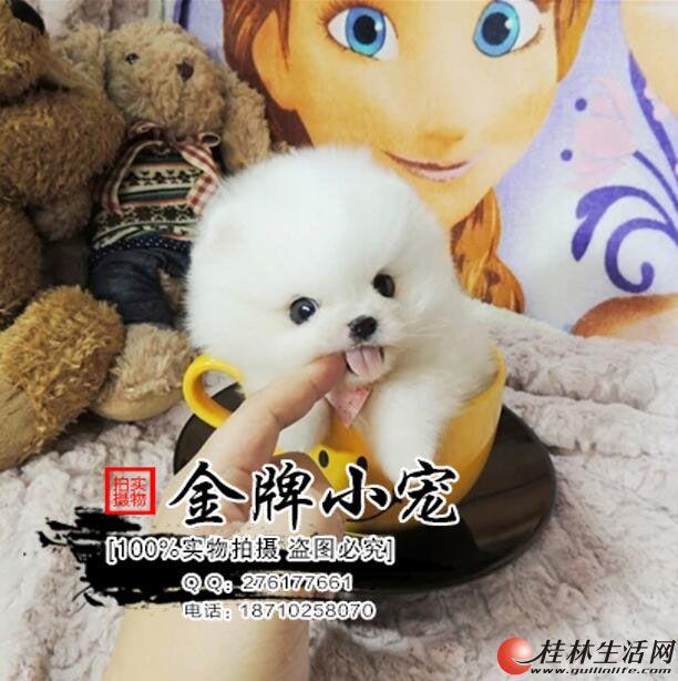 高品质哈多利版经典球体博美 三个月幼犬待售 签协议