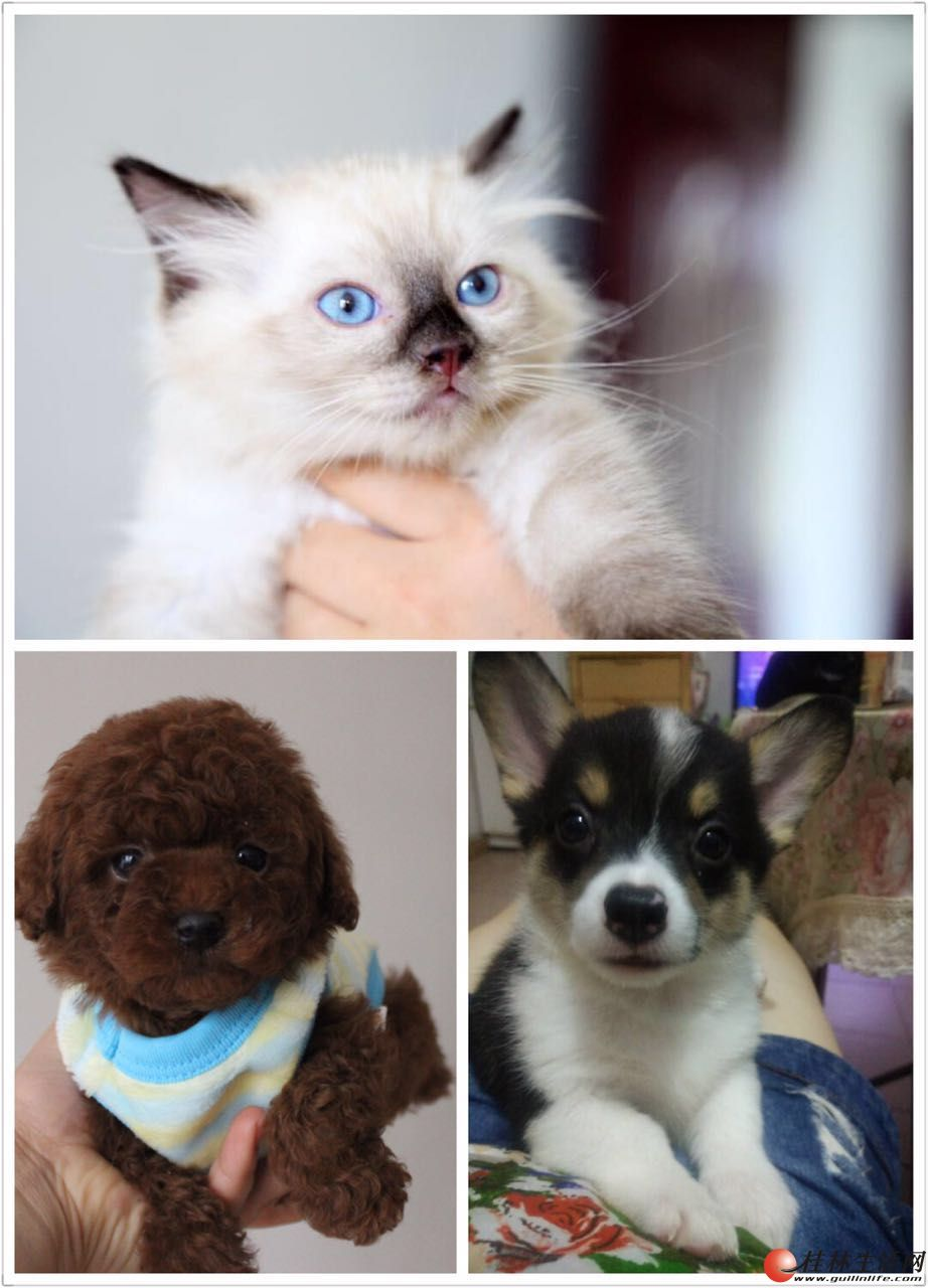 自家繁殖的高品质猫咪跟狗宝宝
