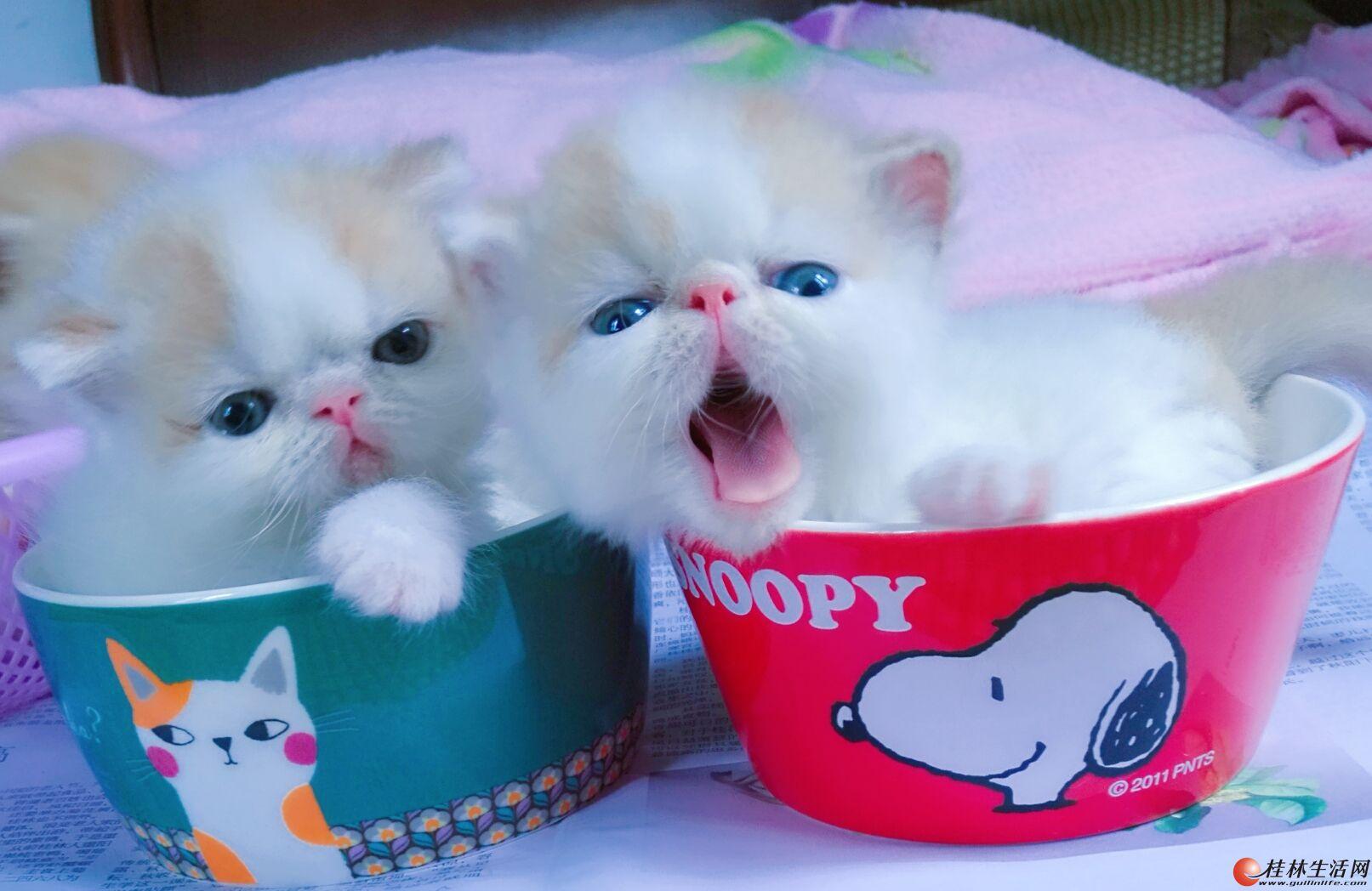 桂林市家养乳白净梵加菲小猫咪找新家