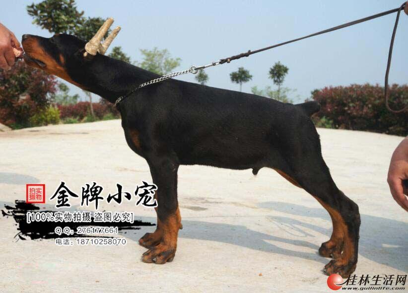杜宾犬舍 德系杜宾 美系杜宾 杜牧价格 杜宾犬多少钱