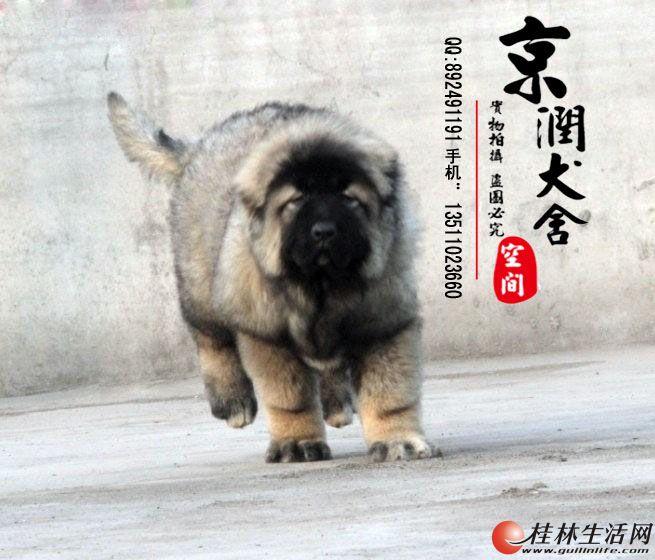 高加索幼犬  高加索幼犬喂养  高加索幼犬价格  高加索专卖