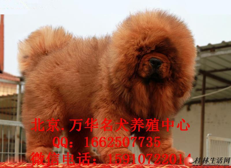 出售多只藏獒幼犬藏獒犬铁包金红獒 可上门挑选
