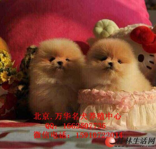 北京哪里有卖纯种博美  哈多里球体博美 个种颜色都有