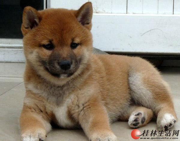 纯种柴犬 草黄色柴犬 高品质柴犬 三个月小柴犬待售中