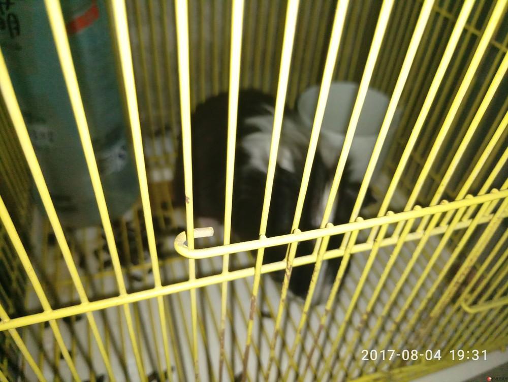 长毛荷兰猪 带笼子五十转让 在花鸟市场四十买的